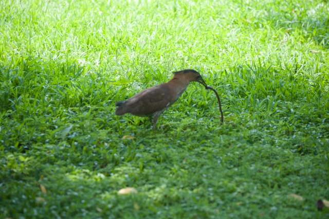 Malayan Night Heron catching and eating a baby cobra. Photo by RickRovakPhotography.com